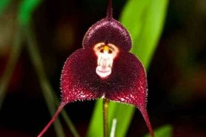 Witness The Eerie Orchid Species That Literally Looks Like A Monkey`s Face