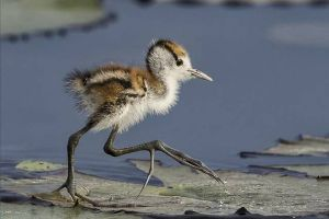 Baby Jacana Birds are the Kings at `Hitching a Ride` (4 pics)