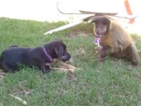 Monkey has trouble sharing lollipop with puppy