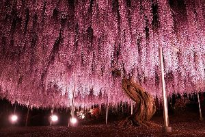 Beautiful 144-year-old Japanese Wisteria will make you go `WOW`. I know where to travel for my next vacation.