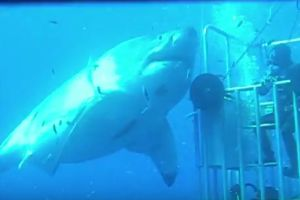 Unseen Footage Of The World`s Biggest Great White Shark!