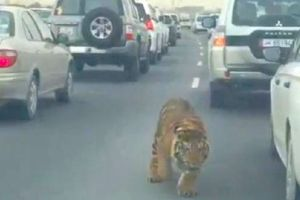 Tiger runs through a traffic jam on a Doha highway in Qatar, after its chain snapped and it was able to escape from its owners car!