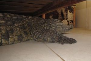 Terrified man finds an 8ft crocodile hidden under his bed after it spent entire night just inches from where he slept