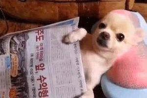 Chihuahua Gets A Neck Massage While Reading The Morning Paper Like a Boss