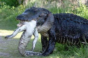 Meanwhile in Florida…Large 12 foot prehistoric looking alligator eats fellow alligator as part of balanced cannibalistic breakfast!