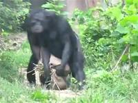 Funny Synchronous Apes