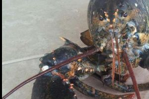 Six-Clawed Lobster Caught. Beast!