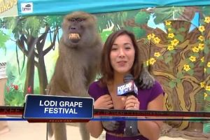 Rock of Ages baboon gropes TV reporter`s breast live on air