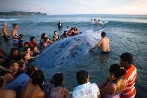 Huge whale stranded on Nicaraguan beach, what happened next will sadden you