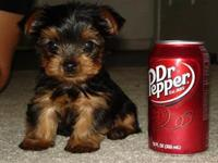 Soda can sized puppies are so cute, I want them all! (16 photos)