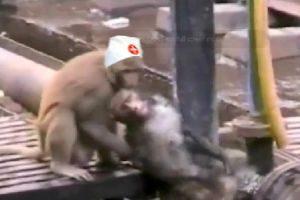 Heroic monkey doesn`t pull out an iPhone and film his dying friend like humans do, instead he saves him like a boss