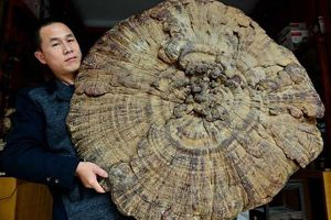 Chinese mushroom is so huge that it can protect Kim Jong-un and his entire entourage during a rainstorm.