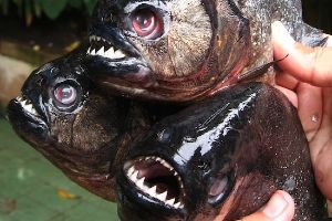 Whatever You Do, Dont Fall Into This Hungry Piranha Death Jacuzzi, Brazilian Rivers Are Like Lava, Avoid Them At All Costs!