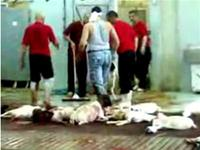 How does a slaughter house scene look like ?