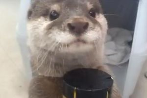 See Adorable Otter Gets Juice from a Vending Machine