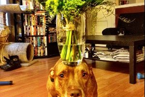 This Dog Can Stack Anything On His Head. You'll Die Laughing At What His Owner Has Tried…(28 pics)