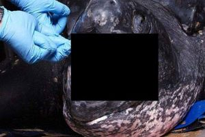 The Inside of the Leatherback Turtle`s Mouth Will Give You Nightmares (4 pics)