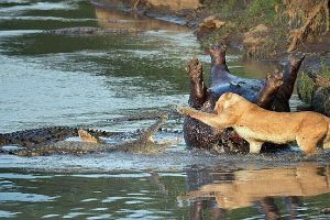 Hungry lioness fights a crocodile over the body of a dead hippo. Who will be a winner? (6 pics)