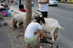 Meanwhile in China: Couple hits up Xi`an street to sell fresh goat milk, straight from the teat