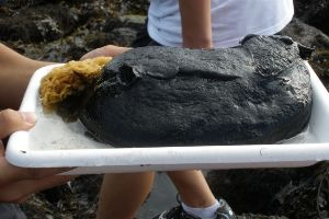This Giant Black Sea Slug Is What Nightmares Are Made Of