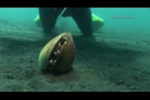 A Grumbling Octopus Hides Out In A Giant Clam Shell