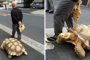 Most Patient Pet Owner In The World Slowly Strolls Around Tokyo With His Giant Tortoise