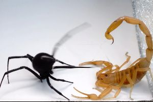 Scorpion and black widow spider battle to the death – I have no idea who to root for, all I know is #blackwidowlivesmatter, end bug cruelty now!