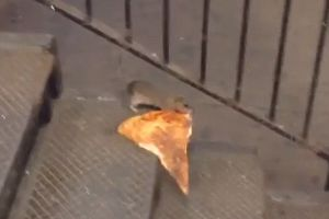 Real-life Disney Movie! New York City rat taking its huge pizza home on the subway.