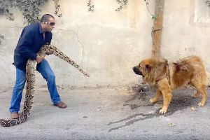 What the hell is going on here? – Crazy Arab sees if his enormous guard dog or his massive python will back down first!