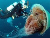 Giant and creepy looking jellyfish was spotted at Kayak Point in Washington